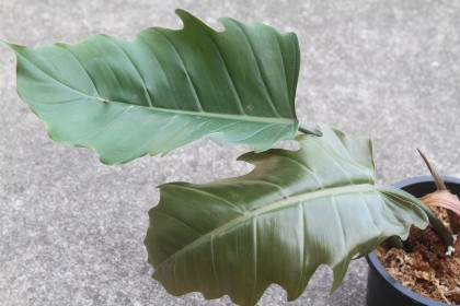 philodendron pluto (**no postages**)